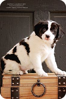 Border Collie/Australian Shepherd Mix Puppy for adoption in Cincinnati, Ohio - Addy