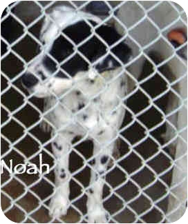 Dalmatian Mix Puppy for adoption in Mandeville Canyon, California - Noah