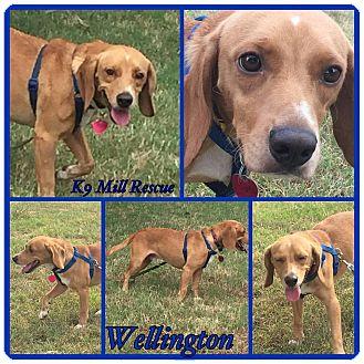 Beagle Dog for adoption in Hurst, Texas - Wellington