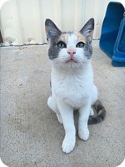 Calico Cat for adoption in Fort Worth, Texas - *BUBBLEGUM*