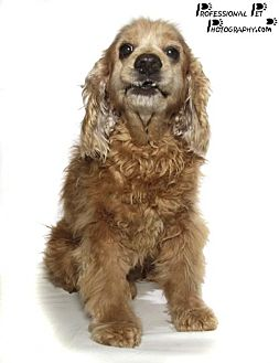 Cocker Spaniel Dog for adoption in Fort Lauderdale, Florida - Speed