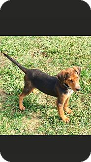 Black and Tan Coonhound/Blue Heeler Mix Puppy for adoption in Greeneville, Tennessee - SHERLOCK