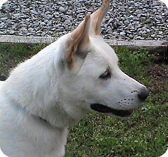 German Shepherd Dog/Husky Mix Dog for adoption in Maynardville, Tennessee - Sparky