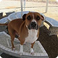 Adopt A Pet :: Clint - Sierra Vista, AZ
