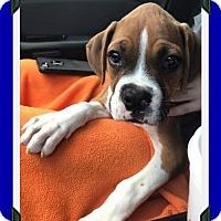 Adopt A Pet :: Winston - Hurst, TX