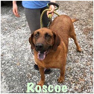 Redbone Coonhound Dog for adoption in Hartwell, Georgia - Roscoe