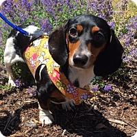Adopt A Pet :: DAISY - Portland, OR