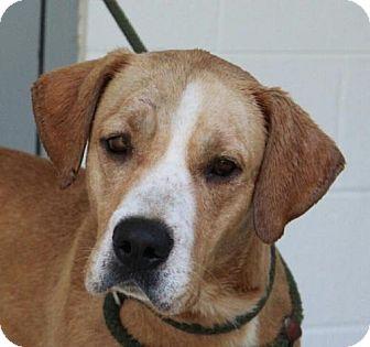 Labrador Retriever Mix Dog for adoption in Allentown, Pennsylvania - Chance