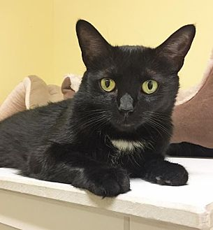 Domestic Shorthair Cat for adoption in Toledo, Ohio - PENELOPE