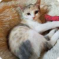 Calico Kitten for adoption in Mission Viejo, California - Ripken