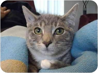 Domestic Shorthair Kitten for adoption in Saanichton, British Columbia - Charger