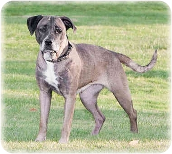 American Pit Bull Terrier Mix Dog for adoption in Howell, Michigan - Roxie