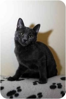 Domestic Shorthair Kitten for adoption in Farmingdale, New York - Mercury