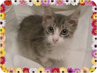 RagaMuffin Kitten for adoption in Hurst, Texas - Joyous Juniper