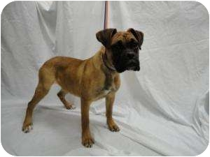 Boxer Dog for adoption in Spruce Pine, North Carolina - Olivia