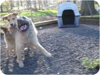 Norwegian Elkhound/German Shepherd Dog Mix Puppy for adoption in manville, New Jersey - Casper