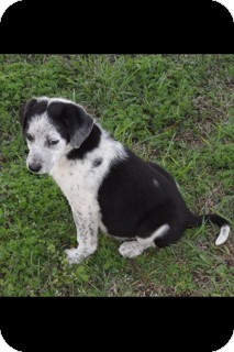 Australian Cattle Dog/Border Collie Mix Dog for adoption in Conway, Arkansas - Rosey