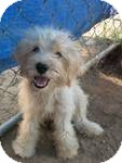 Labradoodle/Poodle (Standard) Mix Puppy for adoption in East Hartford, Connecticut - Emmett