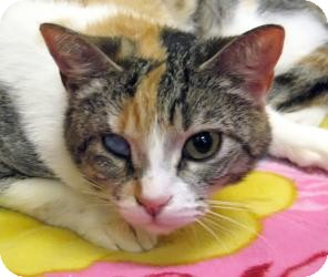 Calico Cat for adoption in Yorba Linda, California - Faithful