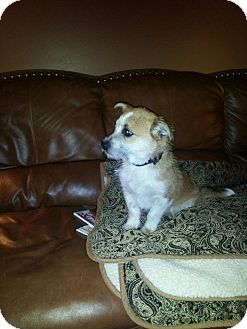 Corgi/Terrier (Unknown Type, Small) Mix Dog for adoption in Ogden, Utah - Stashe