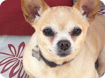 Chihuahua Mix Dog for adoption in petaluma, California - Daisy