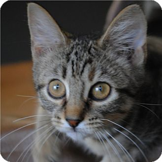Domestic Shorthair Kitten for adoption in Weatherford, Texas - Judy