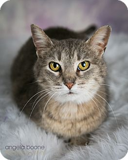 Domestic Shorthair Cat for adoption in Eagan, Minnesota - Brinleigh