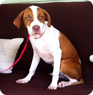 Great Dane/Pit Bull Terrier Mix Dog for adoption in Groton, Massachusetts - Ariel