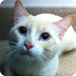 Colorpoint Shorthair Cat for adoption in Gilbert, Arizona - Toby