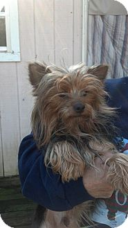 Yorkie, Yorkshire Terrier Dog for adoption in Crump, Tennessee - Ranger