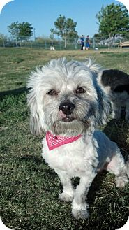 Lhasa Apso Dog for adoption in Las Vegas, Nevada - Maddy