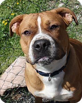 Boxer/Bulldog Mix Dog for adoption in Lyons, New York - Bugsey