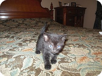 Domestic Shorthair Kitten for adoption in Geneseo, Illinois - Connie