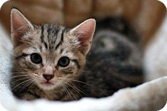 Domestic Shorthair Kitten for adoption in Richmond, Virginia - Kiwi