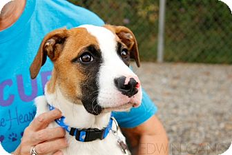 Collie/Boxer Mix Puppy for adoption in Linden, New Jersey - Harley