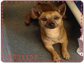 Chihuahua/Dachshund Mix Dog for adoption in SAN ANTONIO, Texas - REDMAN