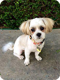 Maltese/Shih Tzu Mix Dog for adoption in La Mirada, California - Lotto