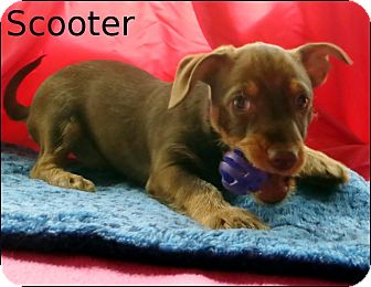 Terrier (Unknown Type, Small)/Chihuahua Mix Puppy for adoption in Colville, Washington - Scooter