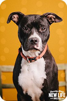 Pit Bull Terrier Dog for adoption in Portland, Oregon - Cookie