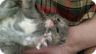 Domestic Shorthair Kitten for adoption in Parkton, North Carolina - Gray Girl Kitty Baby