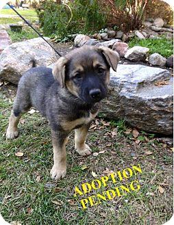 German Shepherd Dog Mix Puppy for adoption in Winnipeg, Manitoba - NIKE
