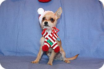 Yorkie, Yorkshire Terrier/Jack Russell Terrier Mix Puppy for adoption in Winters, California - Teddy