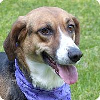 Adopt A Pet :: Isabella - Mocksville, NC