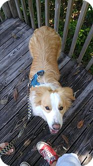 Border Collie Dog for adoption in Jacksonville, Florida - Sonny