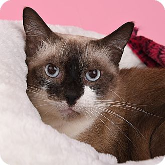 Siamese Cat for adoption in Wilmington, Delaware - Little Girl
