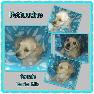 Terrier (Unknown Type, Small) Mix Puppy for adoption in Richmond, California - Fettuccine