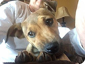 Collie/Beagle Mix Dog for adoption in Foster, Rhode Island - Tessa