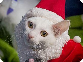 Domestic Shorthair Kitten for adoption in Los Angeles, California - Snowman