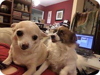 Chihuahua Mix Dog for adoption in Pataskala, Ohio - Lady & Penny