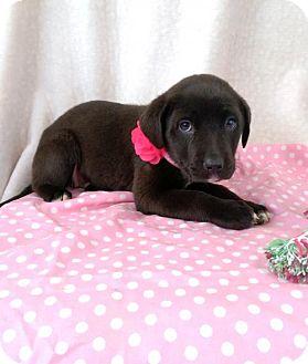 Labrador Retriever/German Shepherd Dog Mix Puppy for adoption in Elkton, Maryland - Abby
